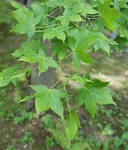 acer oliverianum 1