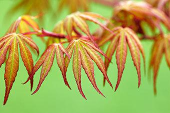 acer palmatum hybrids 1