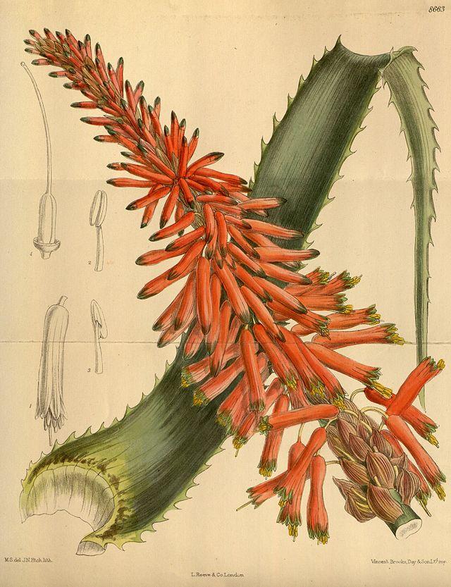 aloe arborescens 1