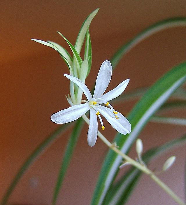 chlorophytum Comosum Flower CC 2.5