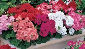 geranium multiflora 1