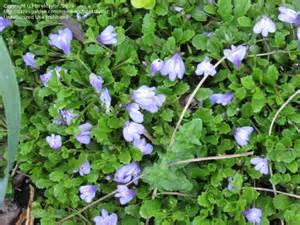 mazus blue 2