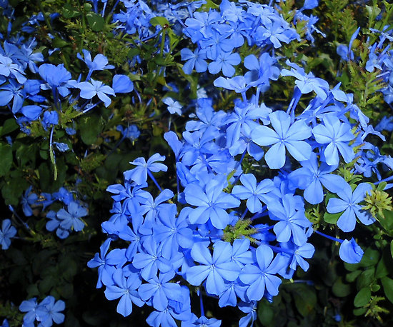 plumbago auriculata Blue 1