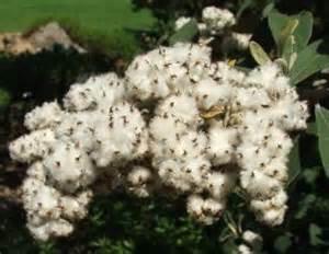 tarchonanthus 1
