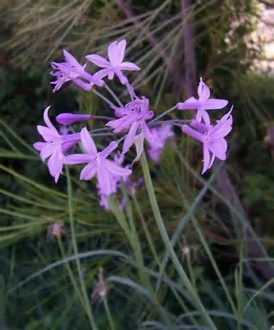 tulbaghia violaceae 1
