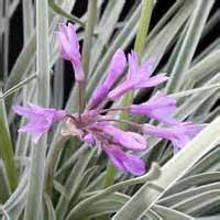 tulbaghia violaceae silver lace 1