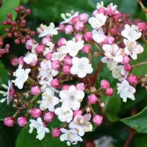 viburnum tinus gwenelian 1
